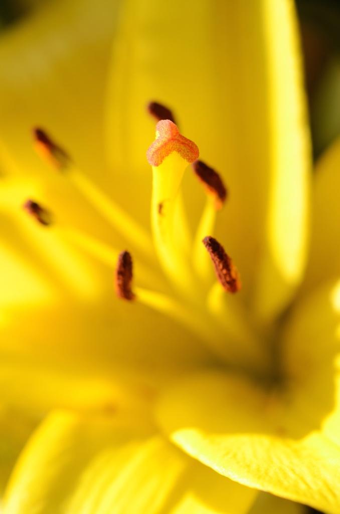 Makro Lilienblüte mit Staubblättern und Griffel