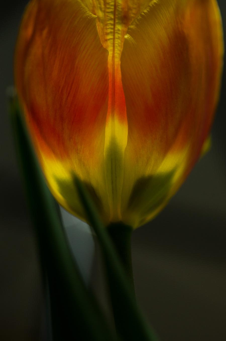 tulpe---16